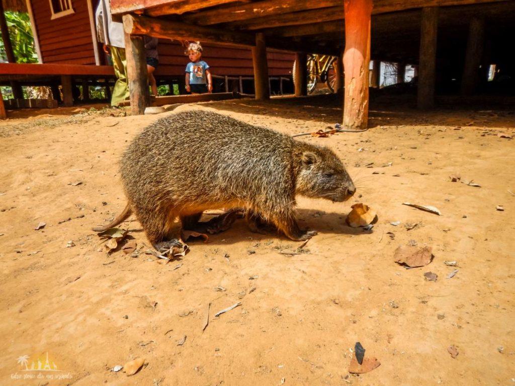 Hutia, zwierzę zagrożone wyginięciem
