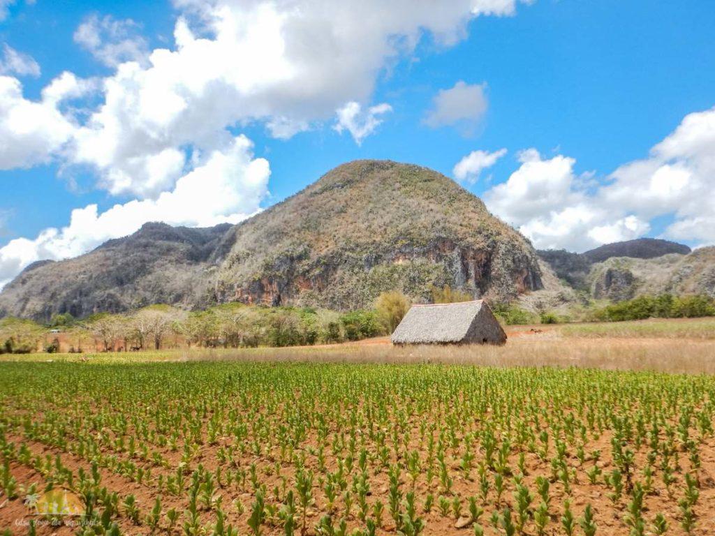 Jedna z wielu plantacji tytoniu w Viňales
