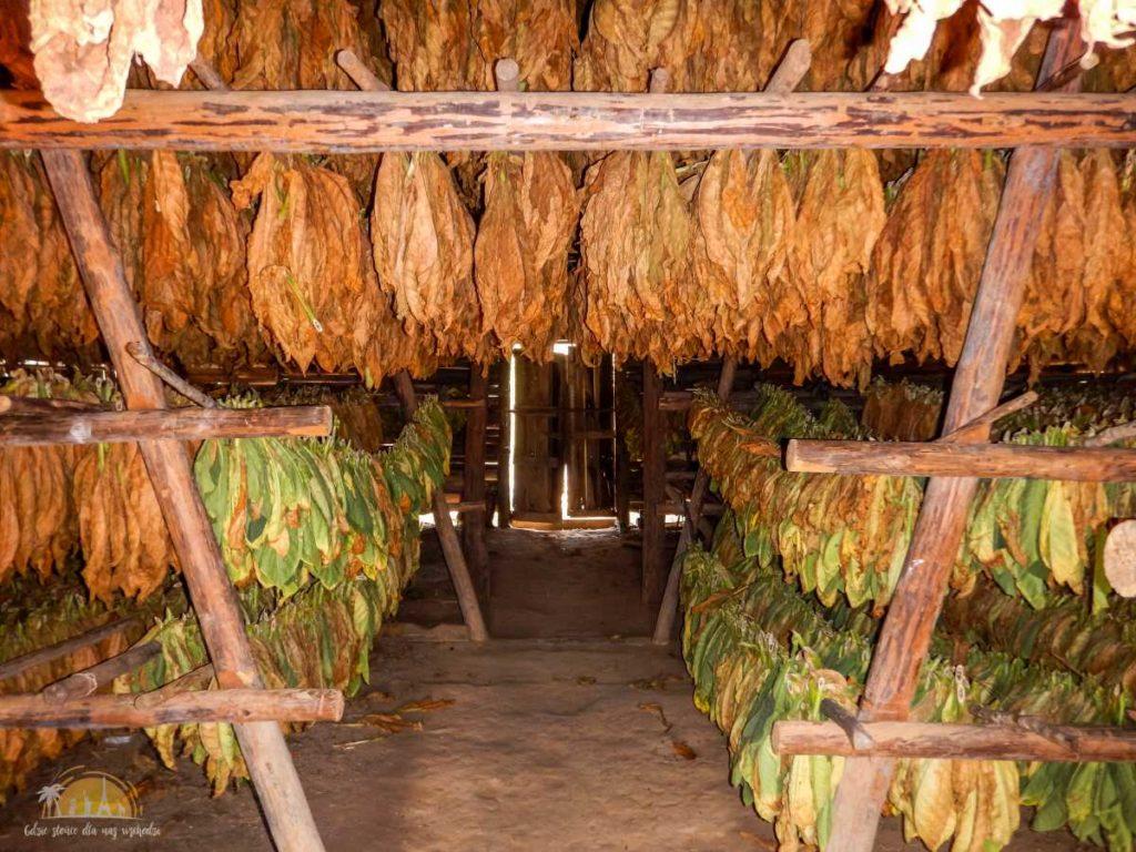 Liście tytoniu w trakcie suszenia, nawet ich rozmieszczenie ma znaczenie