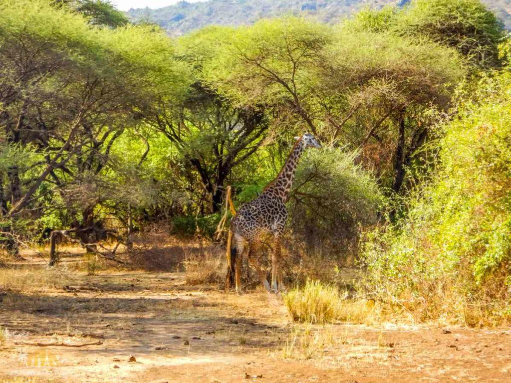 Tanzania safari Lake Manyara (34)
