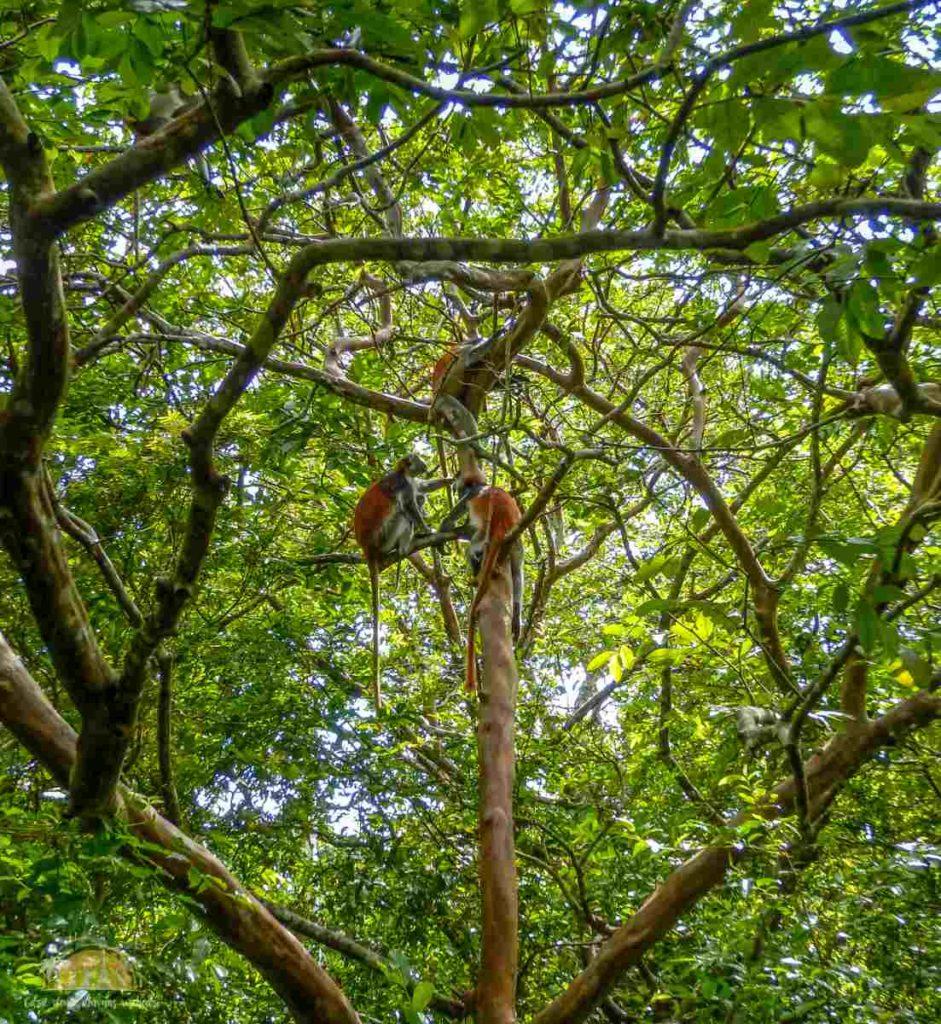 Zanzibar Atrakcje Jozani Forest (110)