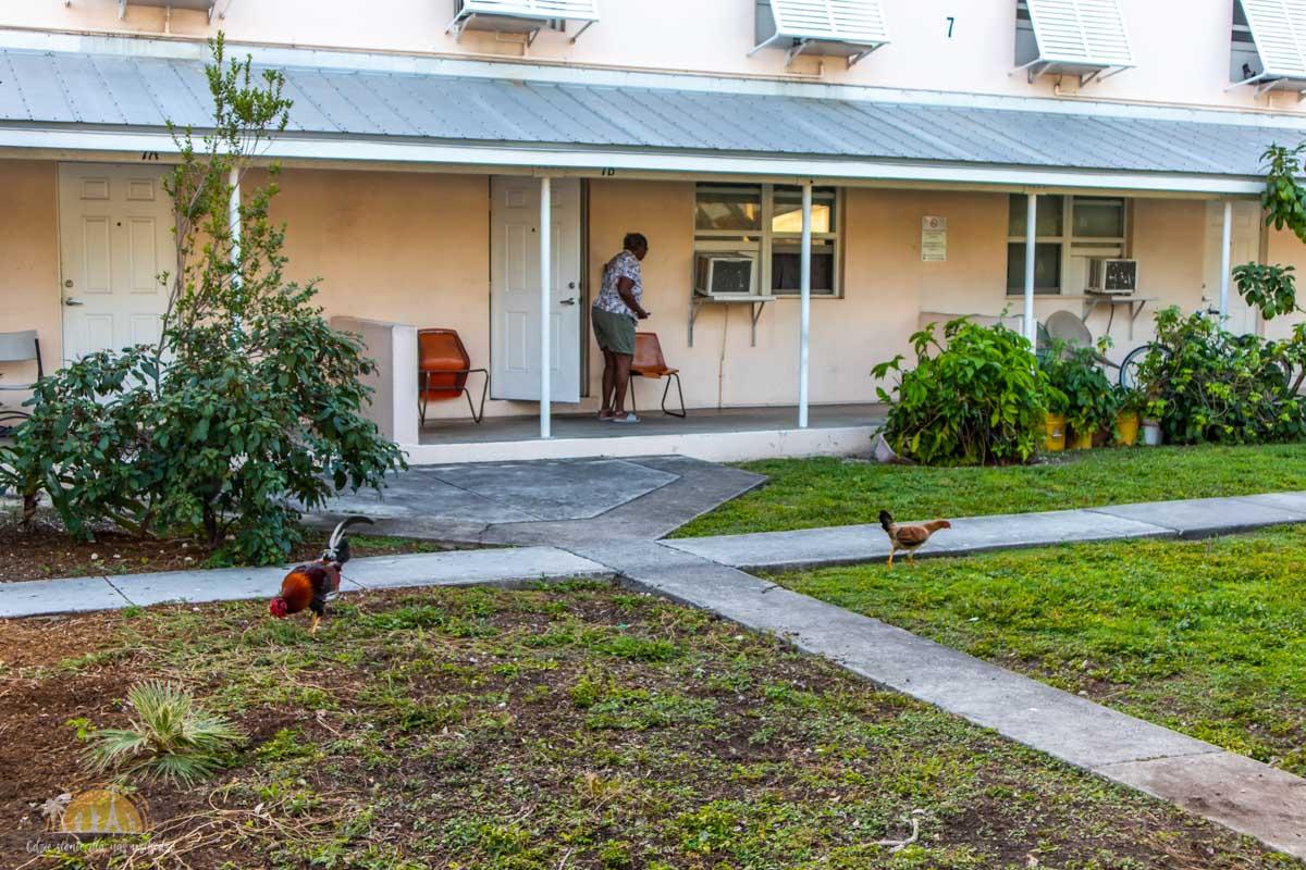 USA Key West kurczaki 15